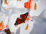 painted lady butterfly cocoon